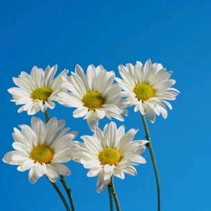 5 daisies 2