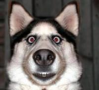 siberian husky surprised