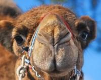 camel 27