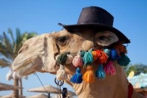 camel 29