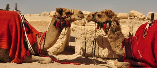 camel 32
