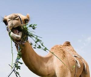 camel eating