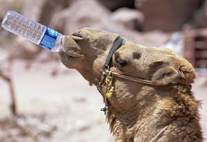 camel water