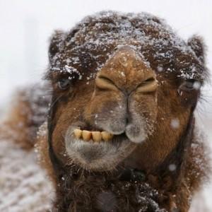 camel 35