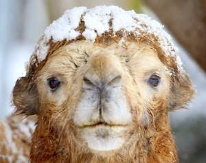 camel snow 6