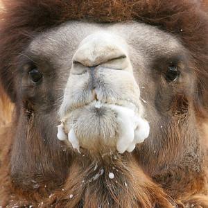 camel 40