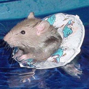 rat swimming