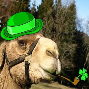 camel irish