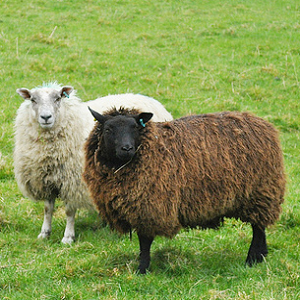 white sheep brown sheep