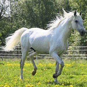 white horse 4