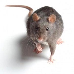 rat-4